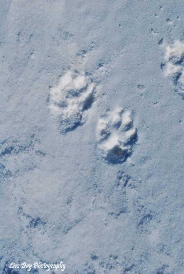 snowy-footprints