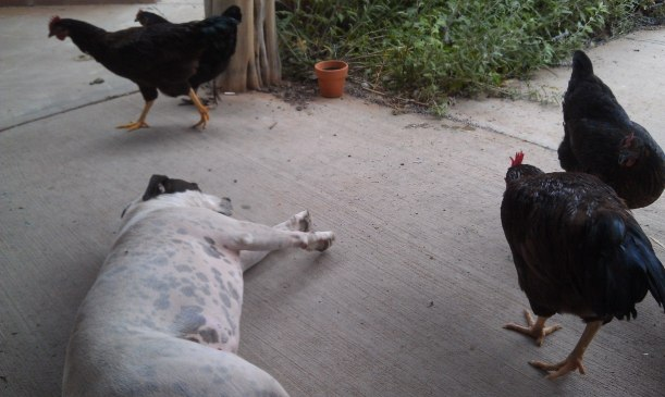 Roux being harassed by chickens when all she is trying to do is take a little nap